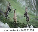 three rearing alpine ibexes | Shutterstock . vector #145221754
