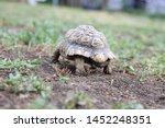 Stock photo nice turtle on the walk through the garden leopard tortoise stigmochelys pardalis 1452248351