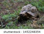 Stock photo nice turtle on the walk through the garden leopard tortoise stigmochelys pardalis 1452248354