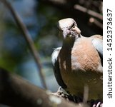 An Angry Looking Dove Fledglin...
