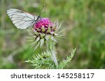 Butterfly On Musk Thistle
