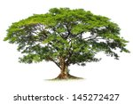 Rain Tree Isolated