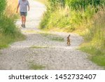 Stock photo a young hare meets a jogger on a gravel road 1452732407