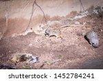 Meerkat Or Suricate  Suricata...