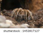 The Chilean Rose Tarantula ...