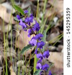 Small photo of Bright purple Holly leaved Hovea chorizemifolia west Australia native wildflower sometimes called Purple pea flowering in mid winter in National Park near Busselton.