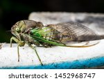 Cicada Large Bug Insect Wings ...