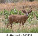 mule deer | Shutterstock . vector #145333