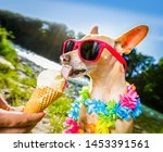 Chihuahua  Dog On   Summer...