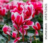 Bright Red And White Cyclamen...