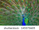 Male Peacock Spreading Feathers