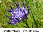 Closeup Of Alpin Wildflower...
