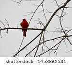 Small photo of A very blustery winter day for a Cardinal in a tree