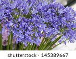 Agapanthus Lily Of The Nile...