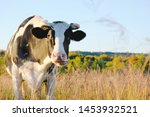 Holstein Cow On Farm In Dry...