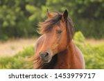Wild Bay Chincoteague Pony...