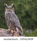 A Great Horned Owl  Bubo...