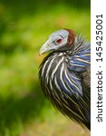 Small photo of Vulturine Guineafowl (Acryllium vulturinum)