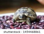 Stock photo little turtle petite baby tortoise 1454468861