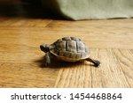 Stock photo little turtle petite baby tortoise 1454468864