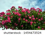Green Bush With Bright Pink...