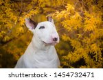 White English Bullterrier And...