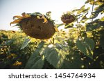 Damaged Sunflowers Bloom On A...