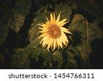 Sunflowers Bloom On A Sunny Da...