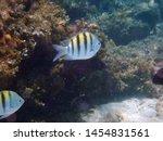 underwater small stripy fish...   Shutterstock . vector #1454831561