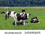 Black And White Cows On A...