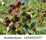 Blackberries  Rubus Fruticosus  ...