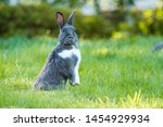 Cute Grey Rabbit With White...