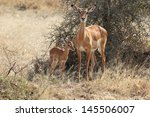 Baby Impala With His Mother ...