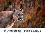 Portrait Of Beautiful Puma....