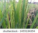 Beautiful View Of Rice Paddy....
