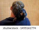A Little Black Dachshund Puppy ...