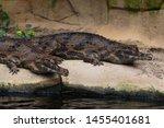False gharial (Tomistoma schlegelii) Malayan gharial, Sunda gharial tomistoma,