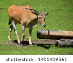 The Common Eland  Also Known A...
