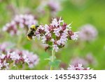 Blooming Thyme  Wasp Pollinates ...
