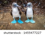 Pair of Blue Footed Boobies. Endemic birds of the Latin America Pacific, Galapagos and Isla de la plata