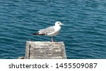 profile of a standing seagull... | Shutterstock . vector #1455509087
