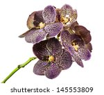 Dark Tiger Orchid Isolated On...