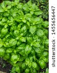 Raw Green Organic Basil Plant...