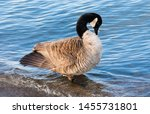 Single Canada Goose With...
