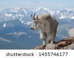 Mountain Goats Roaming High In...