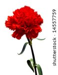 red carnation flower isolated with clipping path on white - stock photo