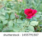 A Rose In Starting Phase And...