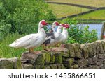 Muscovy Ducks Standing On Ston...