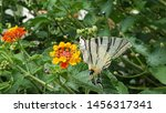 Beautiful Scarce Swallowtail...