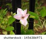 Delecate Flowering Clematis...